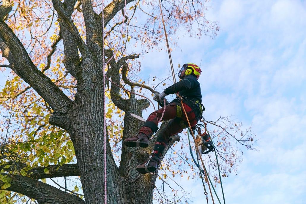 Her skal vi klatre, for at fælde træet