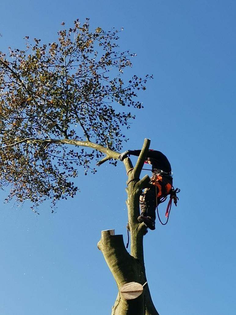 Her ses træfældning fra bslp.dk. Vores aborist fælder træer i etaper.